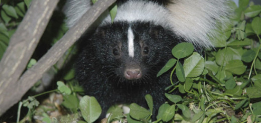 get rid of skunks under house