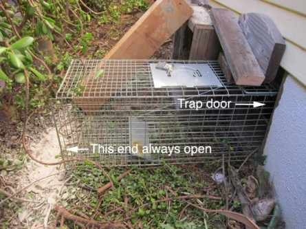 trap for skunks under house