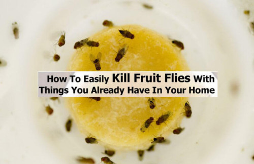 kill fruit flies in the house