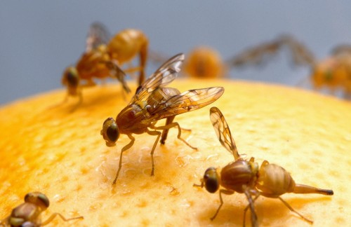 How To Get Rid of Fruit Flies in the House