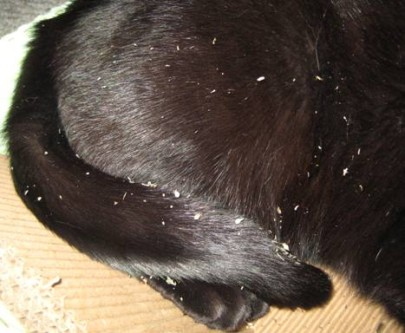 Cat White And Black Dandruff