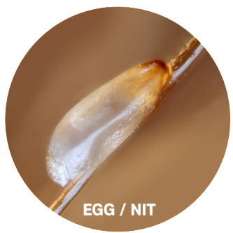 lice eggs pictures